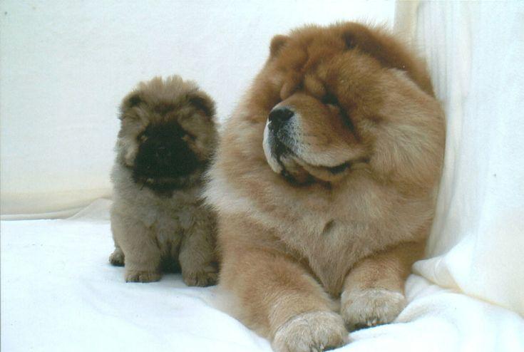 my future dog, a chow chow :)
