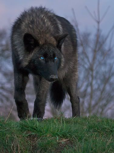 Black Wolf with Blue eyes | The Painted Dog and Other ...