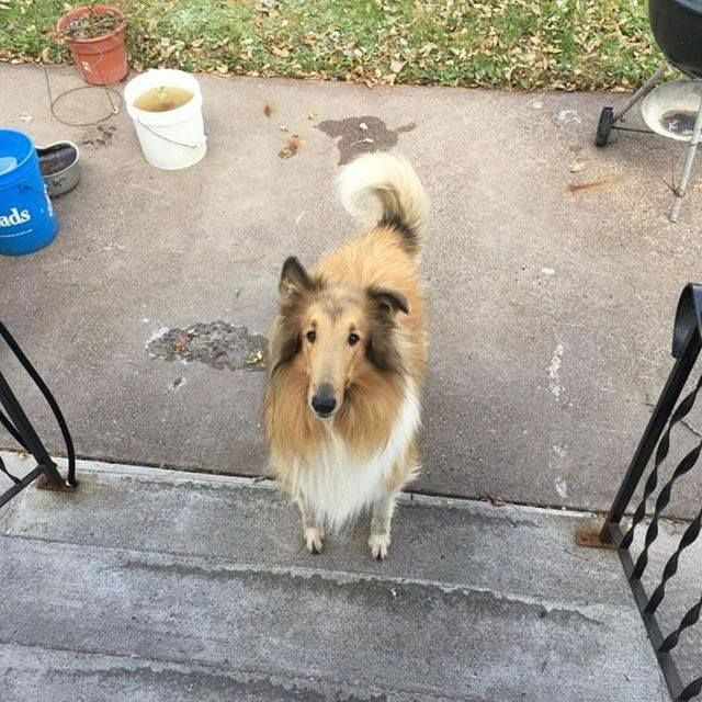Is This Your Dog Carlton Collie Gender Unknown Date Found 10 20 2018 Breed Of Dog Collie Gender Unknown Closest Intersecti Losing A Dog Dogs Dog Ages