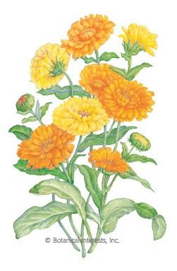 CALENDULA- Flower of Many Uses