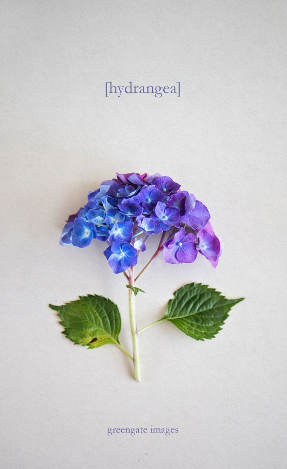 Multi Colored Hydrangea With Blue Purple And Pink So Pretty Greengate Images Greengateimages Etsy Com Hydra Hydrangea Colors Fancy Flowers Pretty Flowers