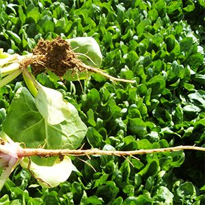 El sistema radicular ocupa el mismo volumen que el sistema foliar y se considera que al menos el 60% de este volumen debe estar mojado. La cantidad de agua de riego a aplicar está en función del clima, del suelo y de la naturaleza de la planta.