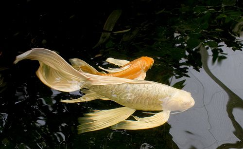 White Butterfly Koi | beautiful flowing elongated fins.