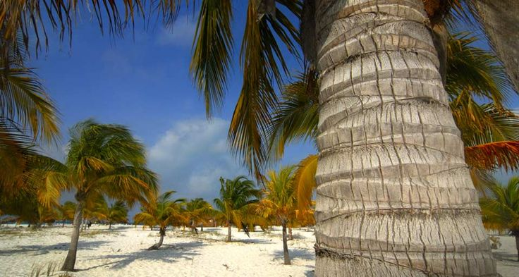 Cayo Largo del Sur, Cuba by imagebroker rf /photolibrary © #Cayo_Largo_del_Sur #Cuba #Beach #Tree #Trees #Coconut trees