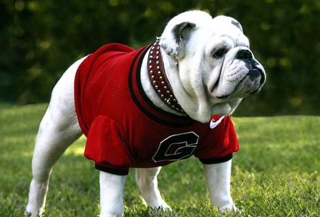 UGA named Nation's Top Mascot! Georgia's famous bulldog in a red sweater might not be the most imposing mascot, nor is he the wackiest, but you would be hard pressed to find a more famous furry friend roaming the sidelines on a football Saturday. #uga #athensga