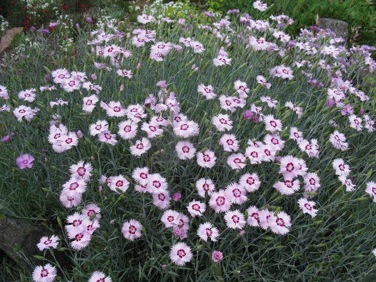 Dianthus plumarius. | Garden Design | Pinterest