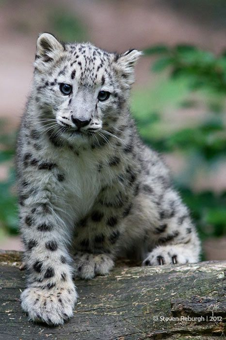 Snow Leopard Cub - my favorite of all the large cats. Beautiful.