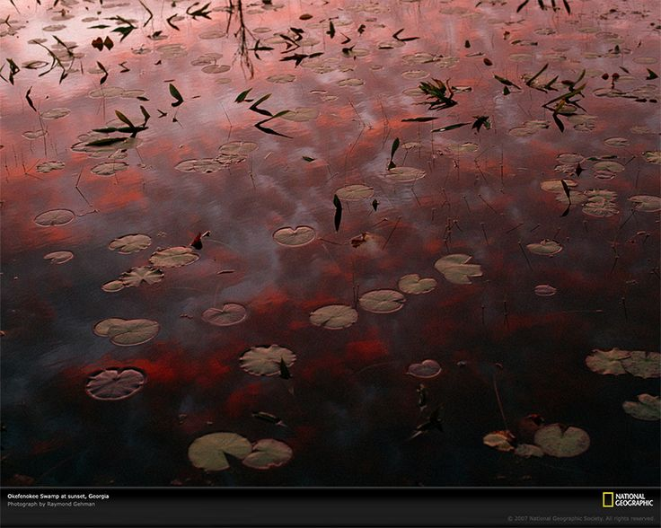 Ninfee al tramonto Fotografia di Raymond Gehman