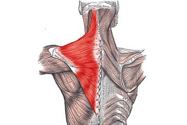 Trapezius Muscle is a large superficial muscle that extends longitudinally from the occipital bone to the lower thoracic vertebrae and laterally to the spine of the scapula (shoulder blade). Its functions are to move the scapulae and support the arm.