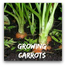 growing cabbage for beginners planting pumpkin seedspumpkin for halloweengrowing - Growing Halloween Pumpkins