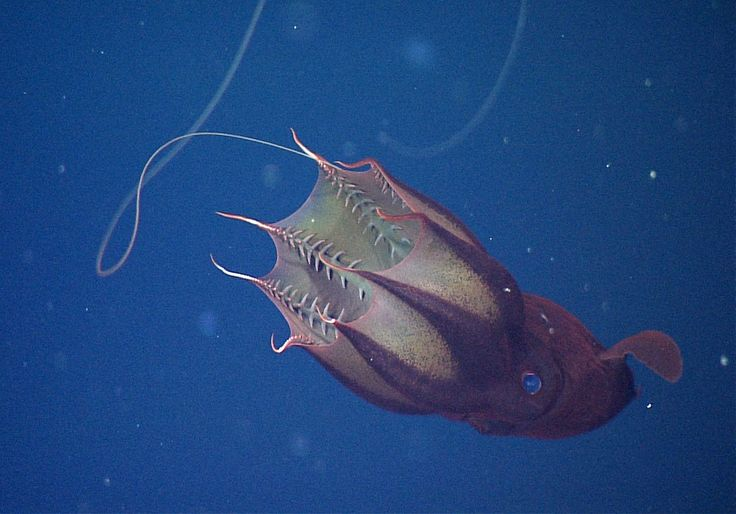 vampire squid (Vampyroteuthis infernalis) are capable of bioluminescence. They use this self-made light to blend in with sunlight filtering down to the deep sea. Along with their eight arms, vampire squid have two long, whiplike filaments.