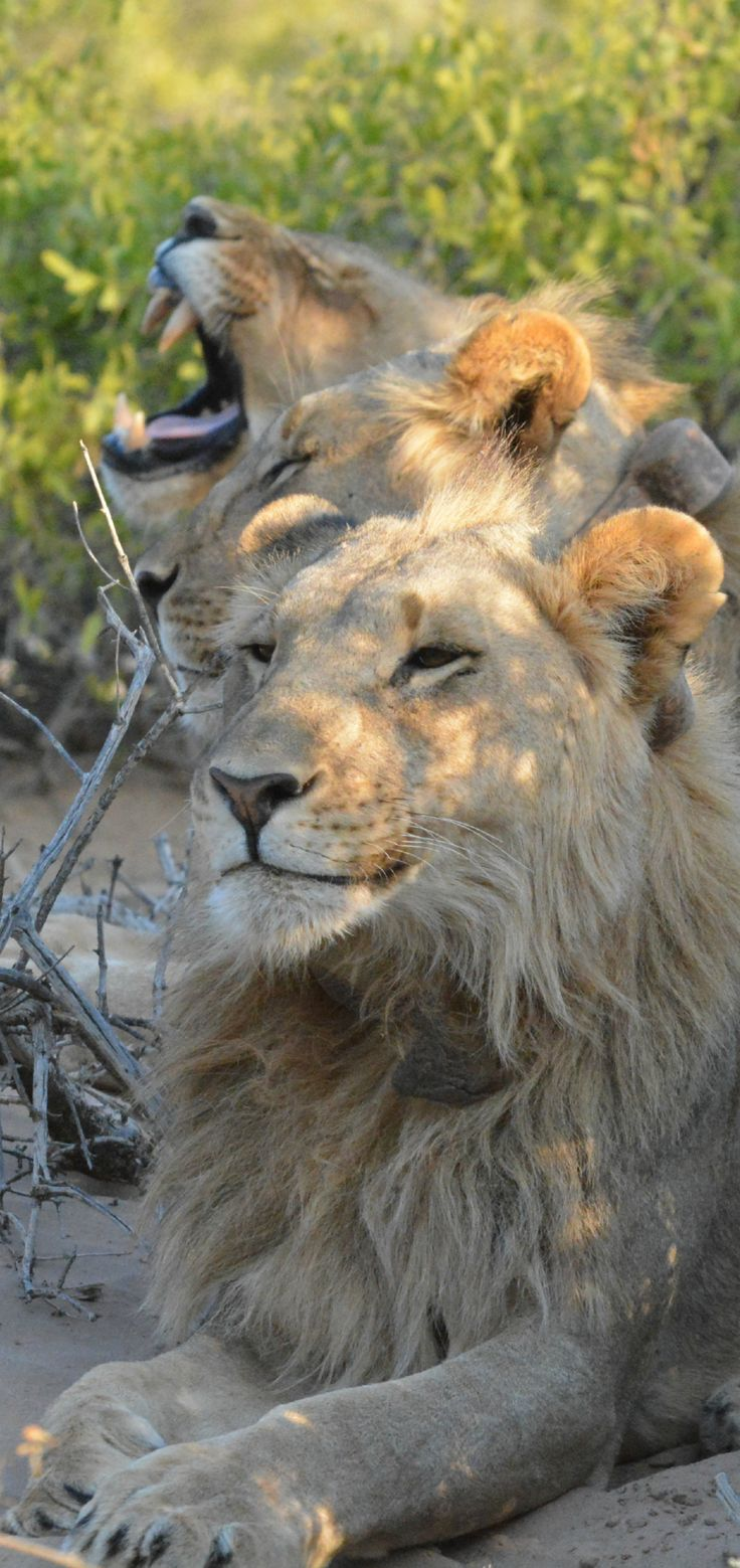 Namibia Desert Lions (Wil 9633)   - Explore the World with Travel Nerd Nici, one Country at a Time. http://travelnerdnici.com