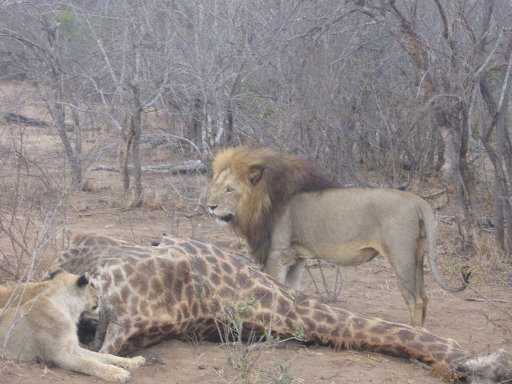Lion giraffe kill 2