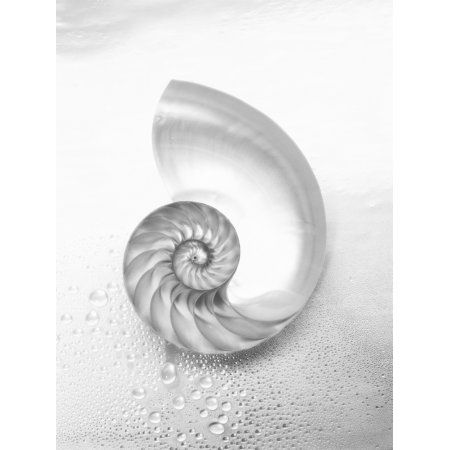 Pearl Nautilus Shell Cut In Half Showing Chambers (Black And White Photograph) Canvas Art - Kate Turning and Tom Gibson Design Pics (12 x 16)