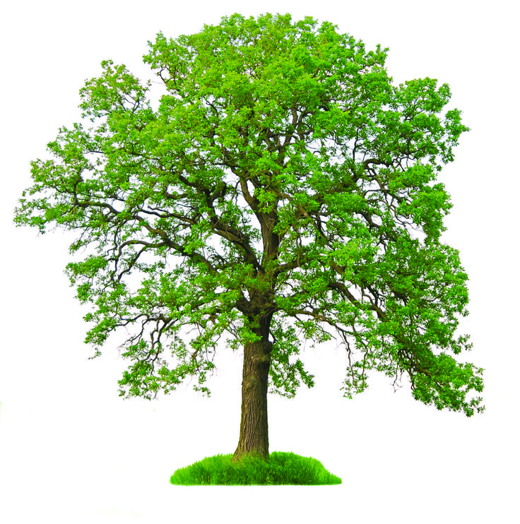 sughero tree botanica disegni | La Quercia Albero des photos, des photos de fond, fond d'écran
