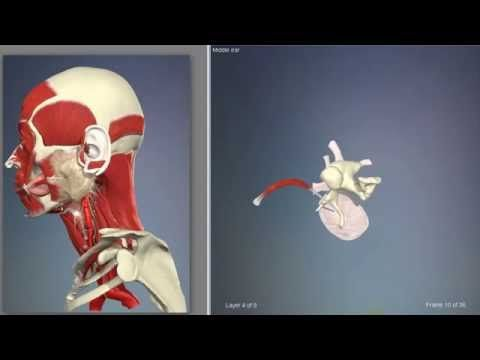 Middle ear muscles | 3D Human Anatomy | Organs - YouTube