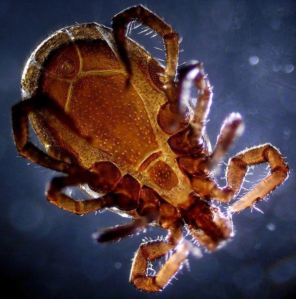 Kleszcz, jak bardzo niebezpieczny jest ten pajęczak i dlaczego trzeba na niego uważać? - http://al-arian.org/?p=17