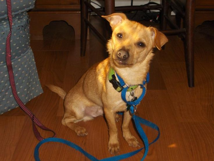Meet Bo, a Petfinder adoptable Chihuahua Dog | Chicopee, MA | Bo is about 3-4 years old and is looking for a home that will give him time to become the sweet boy...