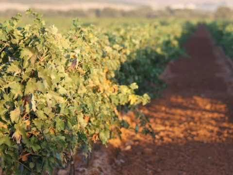 vineyards in spain (video)