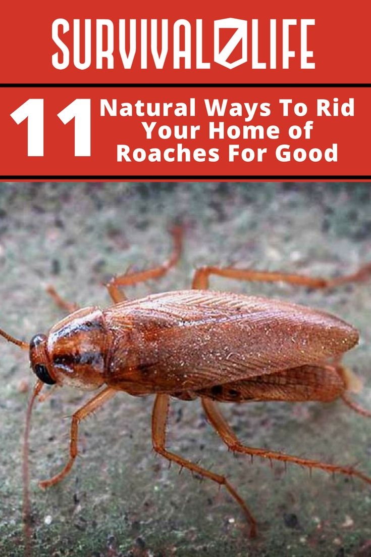 11 Natural Ways To Rid Your Home Of Roaches For Good Pest Control Roaches Roaches Natural Bug Repellent