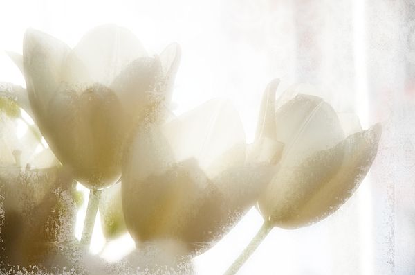 Beautiful white and pale yellow cut tulips on a windowsill bask in the sunlight