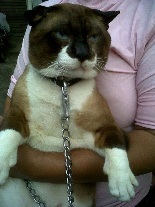 Snowshoe Siamese-- looks like the lady just might need that big chain!