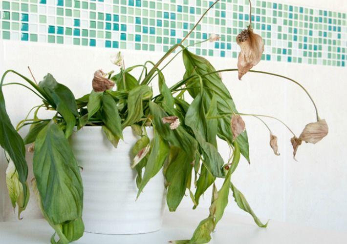 Aunque hayáis seguido estos  7 trucos para regar las plantas en vacaciones , a vuestra vuelta alguna planta estará marchita, ...