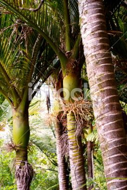 Nikau (Rhopalostylis sapida) Palm, New Zealand Royalty Free Stock Photo