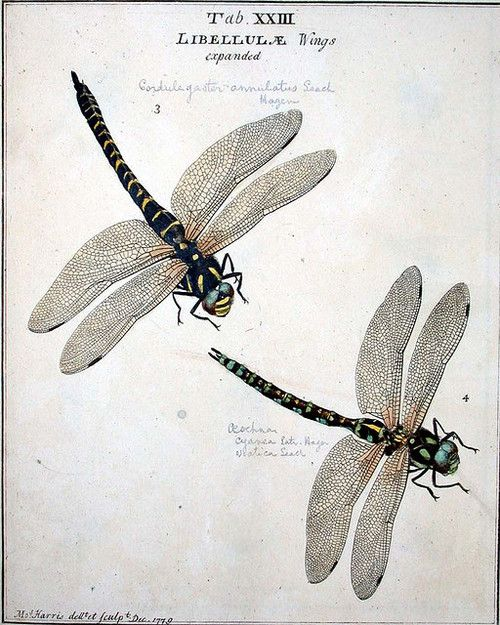 heracliteanfire:    Moses Harris: An exposition of English insects minutely described, arranged, and named, according to the Linnaean system  London: 1782 Dragonflies (by University of Glasgow Library)