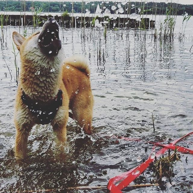 * * * * * #shibainugram #shibainumoments #shibainuverse #shibainuofinstagram #shibainuoftheday #shibainulife #shibainuthailand #shibainusg #shibainu #shibainupuppy #shibainusingapore #shibainustagram #shibainuphotography #shibainumania #shibainulove #instadog #goldenretrieverpuppy #dogstagram #dailypuppy #puppy #puppydog #dogscorner #puppysofinstagram #pitbullpuppy #doglovers #frenchiepuppy #instapuppy #puppylove #bulldog #pugpuppy