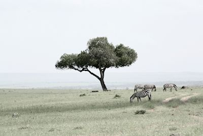 Amanda Thorbjörnsson - Savannen. A serene savannah with lone tree and zebras.  Available as poster and laminated picture at Printler, the marketplace for photo art.