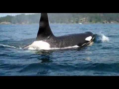 Have you ever been this close to a killer whale in its natural environment? #YouWontBeSorry #Sooke www.youwontbesorry.com