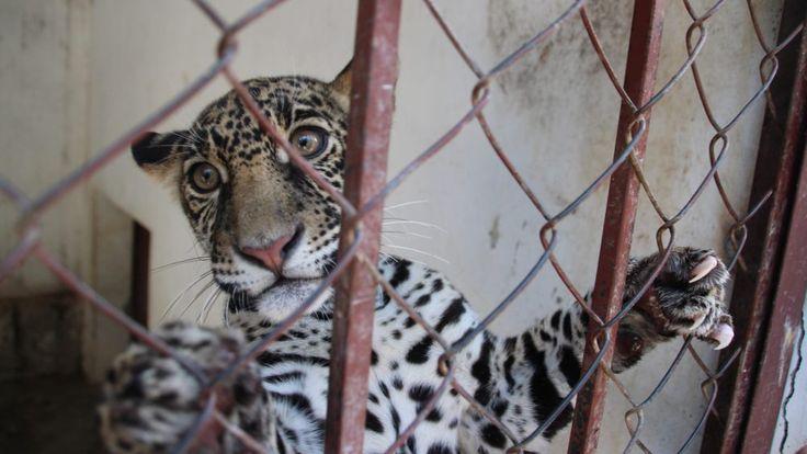 TRASLADAN 6 ANIMALES NUEVOS A ZOOLÓGICO DE CHILPANCINGO