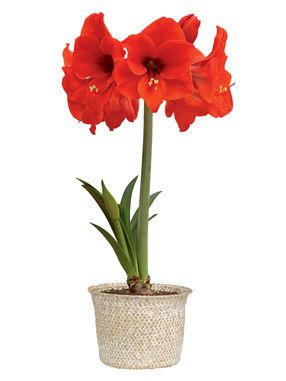Safari Amaryllis in Cachepot