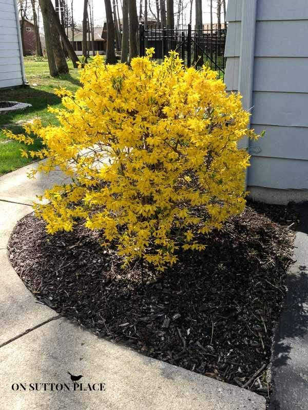 prune forsythia front