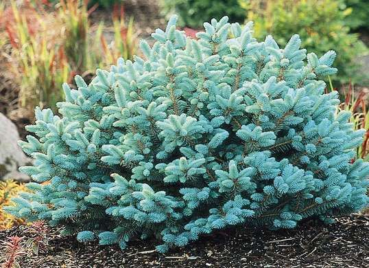 The dwarf globe blue spruce has beautiful blue needles that brighten your yard in winter and only get more brilliant in the summer.