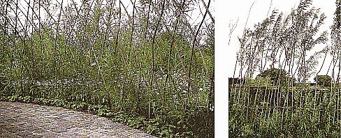popis sázení vrbového plotu