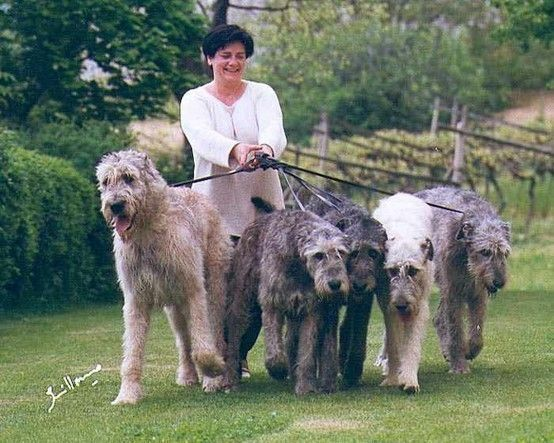 Padme, my mixed breed pound rescue, is part Irish Wolfhound. Full blood......this would have been her size!