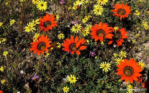 Namaqualand, South Africa, September 2005.