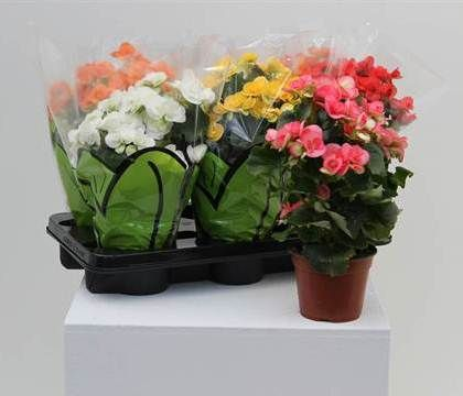 BEGONIA DIAM.14 MIX  Florpagano di Antonio Pagano (piante e fiori) www.florpagano.com