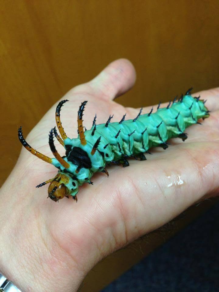 56 best Caterpillar images on Pinterest | Butterflies, Beautiful ...