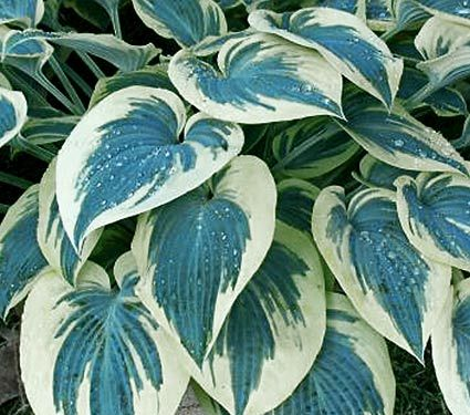 Hosta Blue Ivory - White Flower Farm The outstanding feature of these deep blue, broadly spear-shaped leaves is a very wide ivory margin, which becomes whiter in midseason, making the contrast even more striking. The mound of thick, slug-resistant foliage is decorated in July with pale lavender flowers. PP 19,623