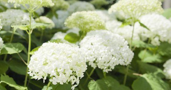 Schneeballhortensien finden immer mehr Fans – vor allem die Sorte 'Annabelle' steht bei Hortensienfreunden sehr hoch im Kurs.