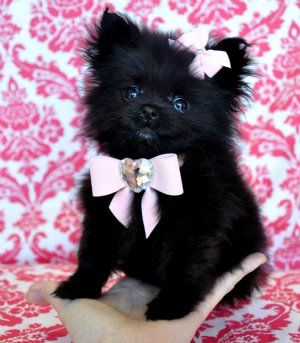 pomeranian! We picked out a collar just like this for Lulu, 1 in pink, 1 in leopard, and 1 in Tiffany blue!