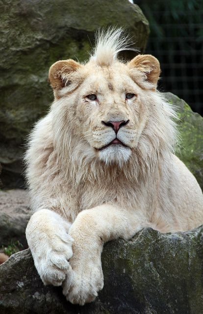 witte leeuwen Rhenen IMG_0041 by j.a.kok on Flickr.