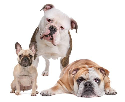 American French and English Bulldog Together http://www.justcatsanddogs.com/dogs/dog-breeds/american-english-and-french-bulldog-breeds