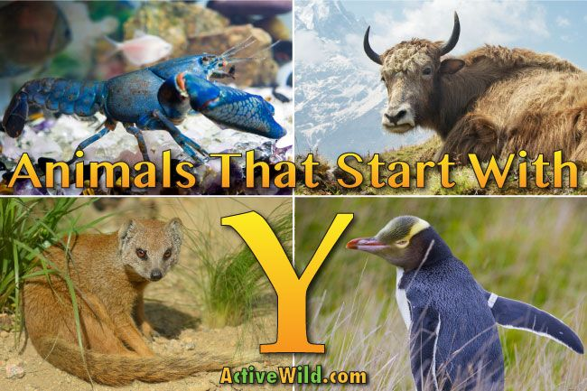 Animals That Start With Y List Of Amazing Animals Beginning With