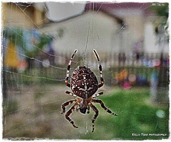 Cross spider.