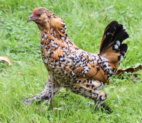 weird looking chicken.. I want one! | Chickens! | Pinterest
