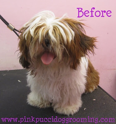 The 13 best dog grooming before after pics images on pinterest torrance best dog grooming shop specializes in japanese dog styling solutioingenieria Gallery